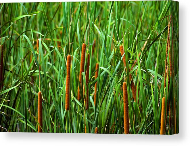 Cattails Canvas Print featuring the photograph Tails by Anthony Knapp
