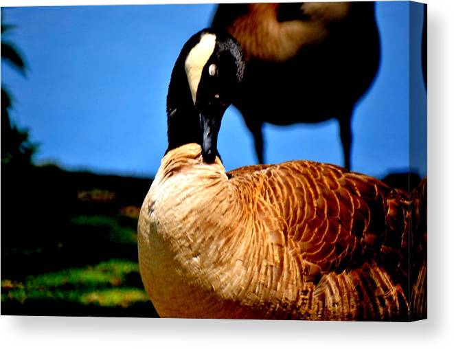 Canvas Print featuring the photograph The Beautiful Duck by Robert Scauzillo