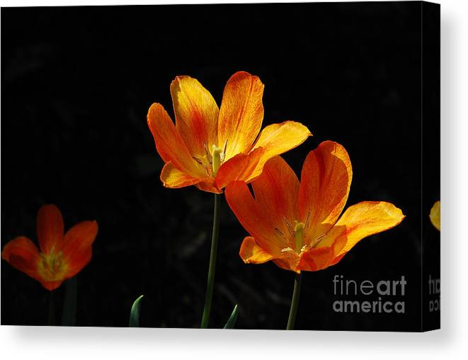 Tulips Canvas Print featuring the photograph Triples by Lois Bryan