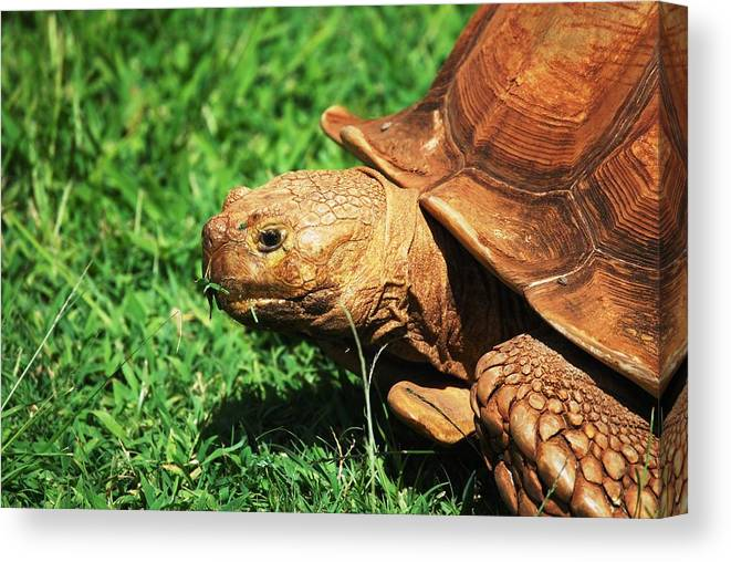 Turtle Canvas Print featuring the photograph Turtle by Lakida Mcnair