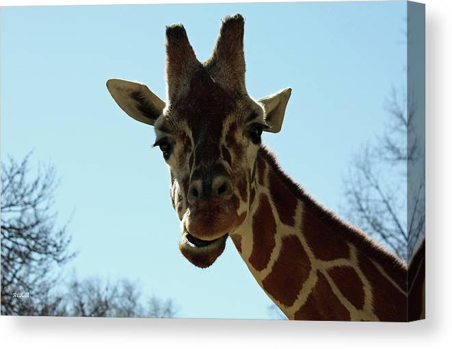 Maryland Canvas Print featuring the photograph Very Tall Giraffe by Ronald Reid