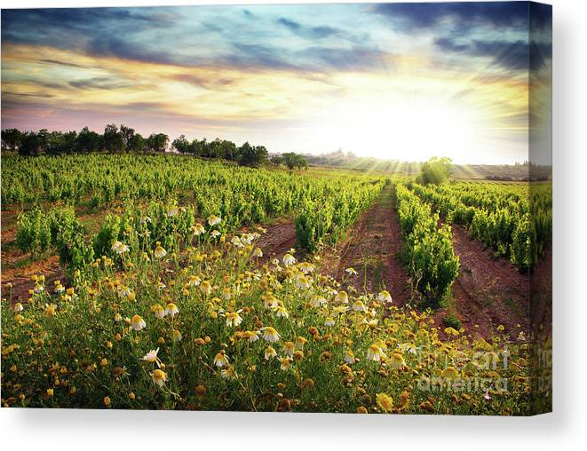 Agriculture Canvas Print featuring the photograph Vineyard by Carlos Caetano