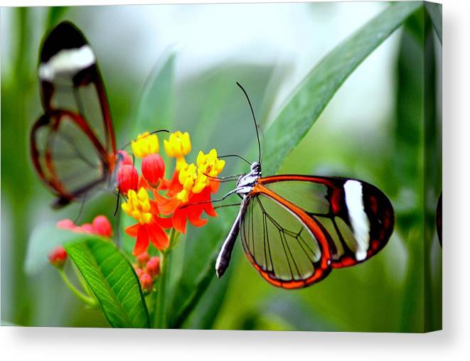 Glasswinged Butterfly On A Milkweed Canvas Print Canvas Art By