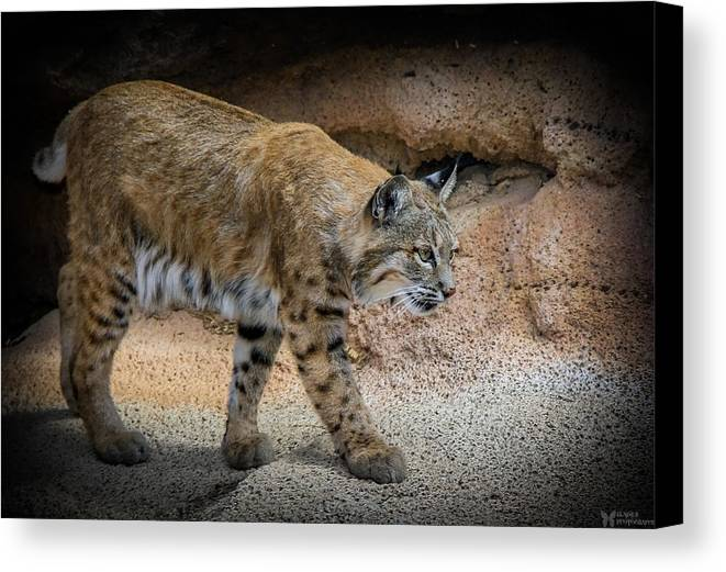 Bobcats Canvas Print featuring the photograph Bobcat by Elaine Malott