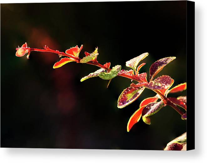 Outdoors Canvas Print featuring the photograph Close Up Of Berberis Quebec, Canada by Yves Marcoux