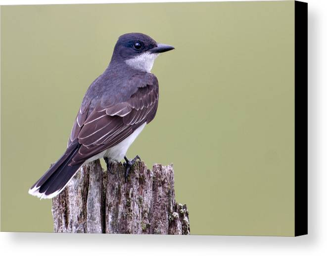 Bird Canvas Print featuring the photograph Kingbird by Bob McConnell