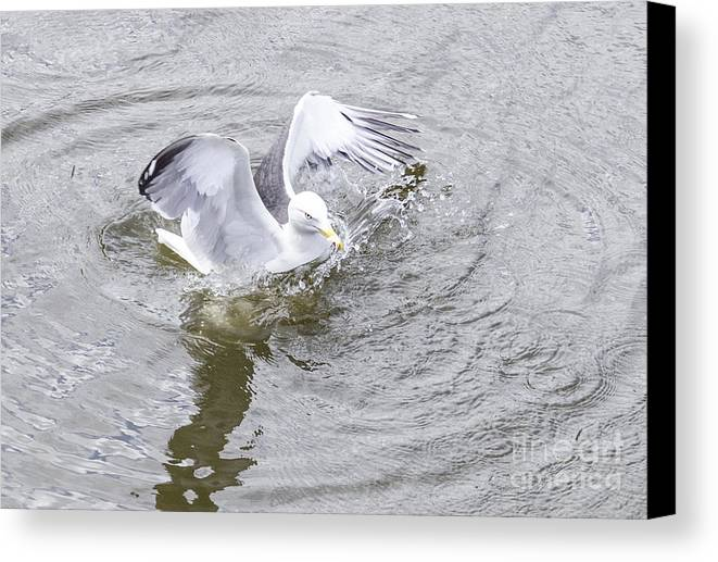 Bird Canvas Print featuring the photograph Landing by Pravine Chester