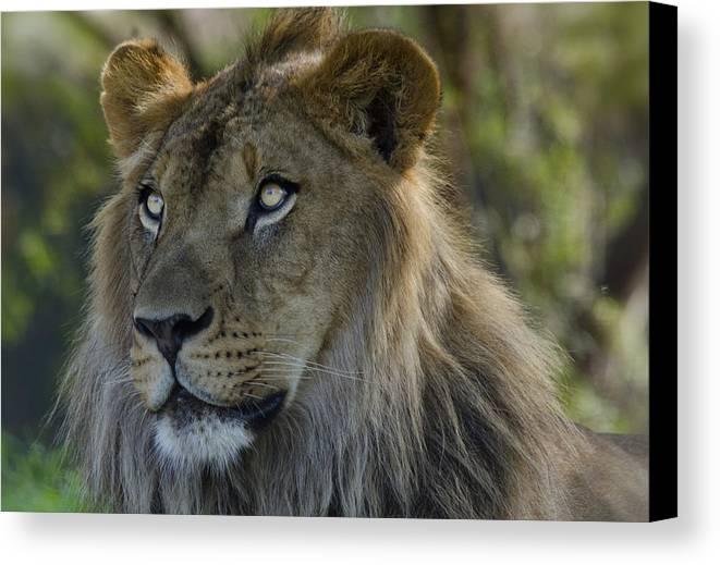 African Lion Canvas Print featuring the photograph Lion King by Saija Lehtonen