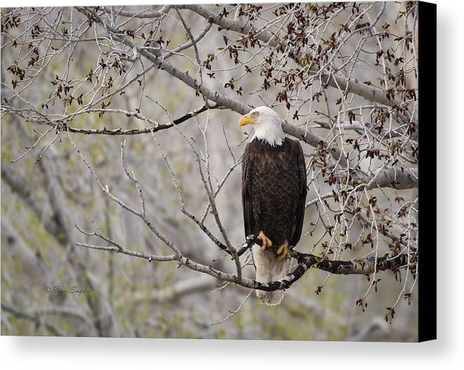 Beautiful Canvas Print featuring the photograph Bald Eagle At Belfry Mt by Roger Snyder