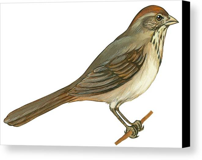 No People; Horizontal; Side View; Full Length; White Background; One Animal; Wildlife; Close Up; Illustration And Painting; Zoology; Bird; Branch; Wing; Feather; Perching; Beak; Tail; Brown; Brown Towhee; Pipilo Fuscus Canvas Print featuring the drawing Brown Towhee by Anonymous