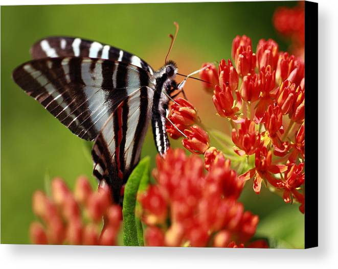 Butterfly Canvas Print featuring the photograph Brunch by Shelby Waltz