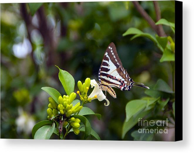 Butterfly Canvas Print featuring the photograph Butterfly And A White Flower by Ted Guhl