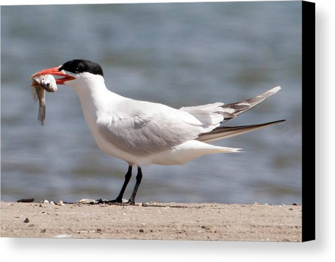 Caspian Tern Canvas Print featuring the photograph Caspian Tern by Bob McConnell