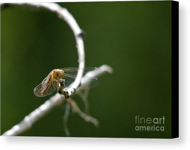 Common Red Darter Canvas Print featuring the photograph Eye To Eye by Cheryl Baxter