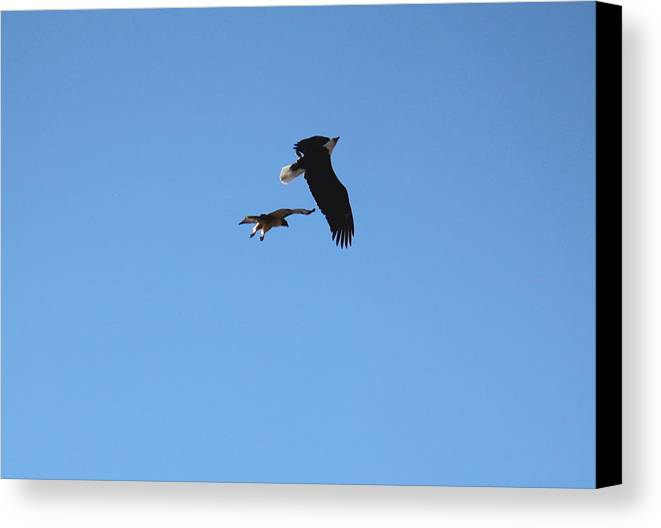 Hawk Vs Eagle 3 Canvas Print Canvas Art By Trent Mallett