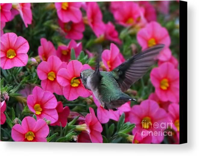Hummingbird Canvas Print featuring the photograph Hummingbird 3219 by Jack Schultz