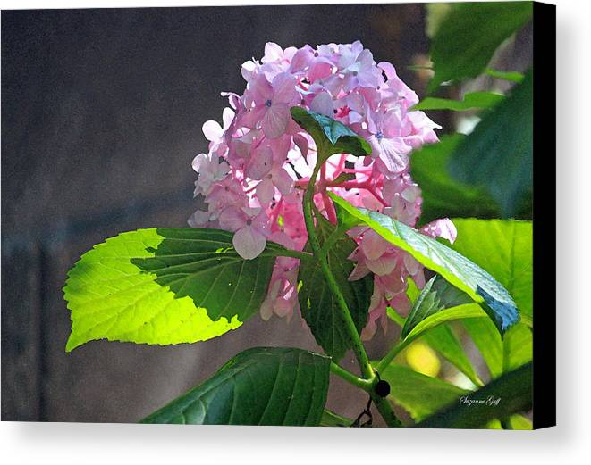 Hydrangea Canvas Print featuring the photograph Hydrangea Heaven by Suzanne Gaff
