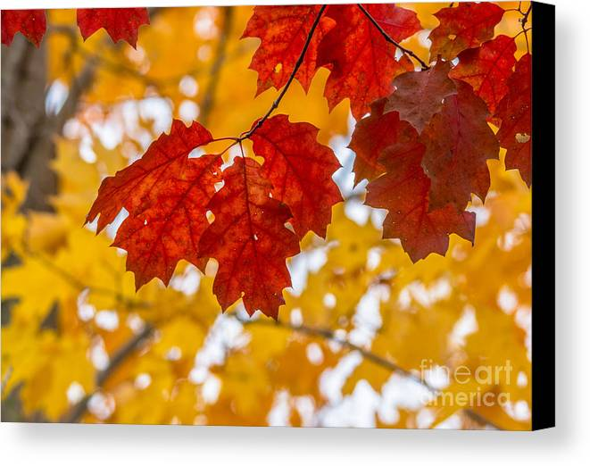 Rain Canvas Print featuring the photograph Indian Summer Trees by Cheryl Baxter