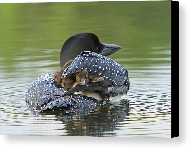Common Loon Canvas Print featuring the photograph Loon Chick - Peek A Boo by John Vose