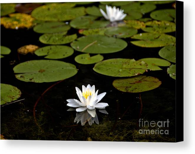 Canvas Print featuring the photograph Lovely Pond Lily by Cheryl Baxter