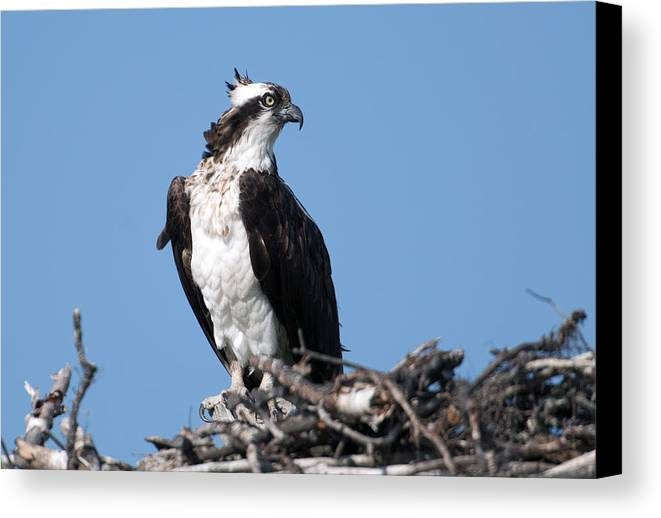 Bird Canvas Print featuring the photograph Osprey by Bob McConnell