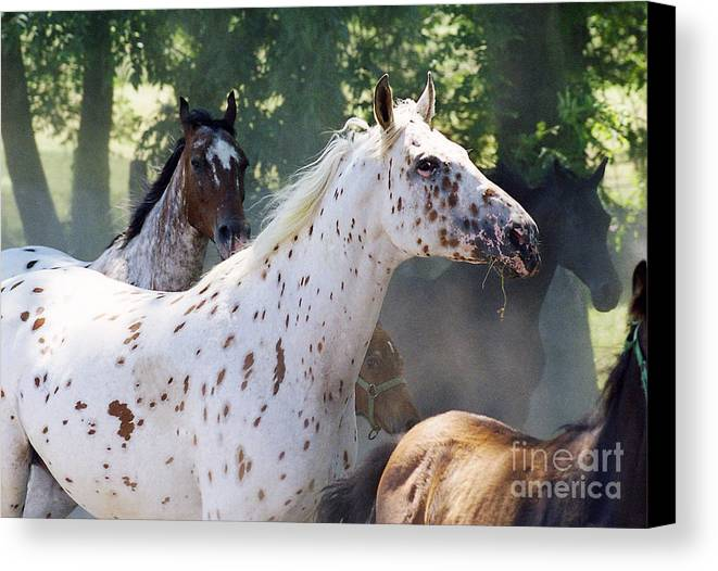 Appaloosa Canvas Print featuring the photograph Patches And Dots by Angel Ciesniarska