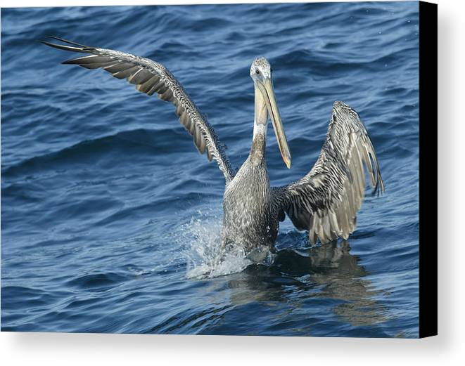 Pelicans Canvas Print featuring the photograph Pelican 2 by Don Olea