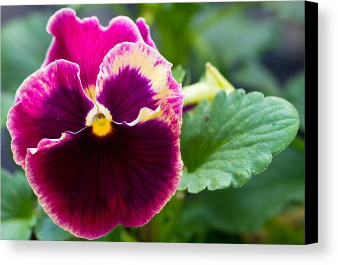 Agriculture Canvas Print featuring the photograph Single Pansy by John Trax