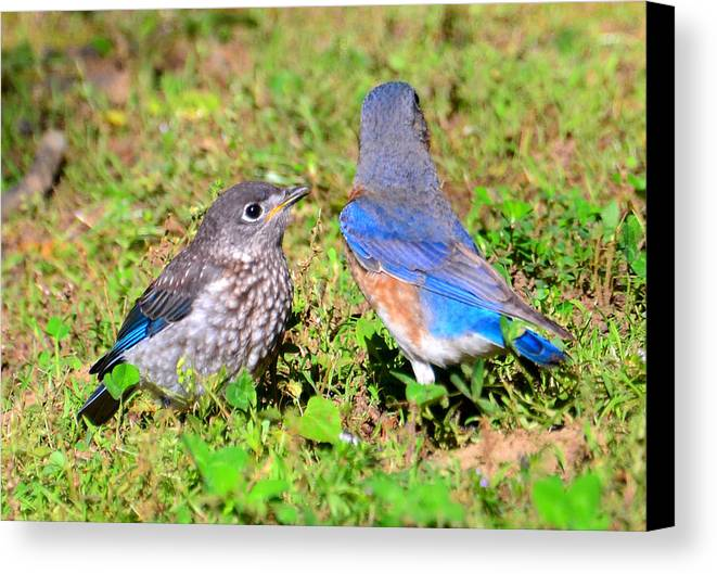 Birds Canvas Print featuring the photograph A Mothers Care by David Lee Thompson