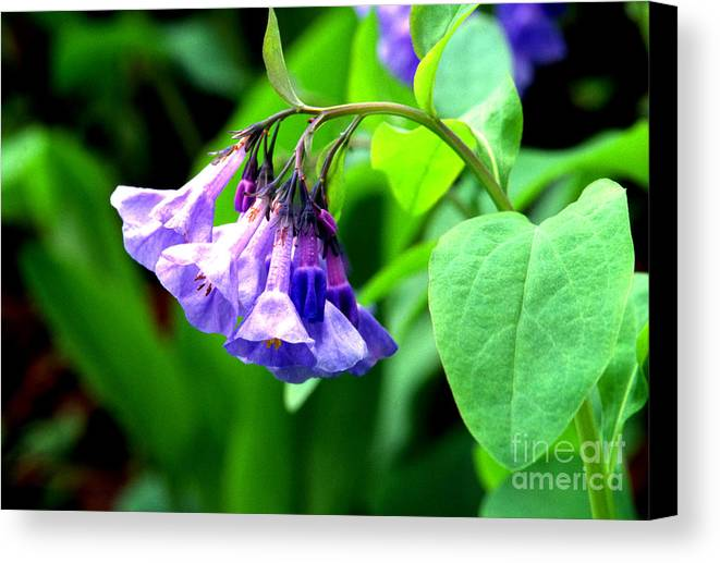 Virginia Bluebell Canvas Print featuring the photograph Virginia Bluebell by Thomas R Fletcher