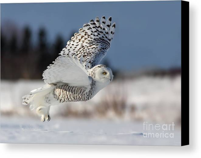 Art Canvas Print featuring the photograph White Angel - Snowy Owl In Flight by Mircea Costina Photography