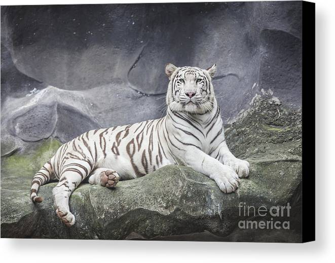 Aggression Canvas Print featuring the photograph White Tiger On A Rock by Anek Suwannaphoom