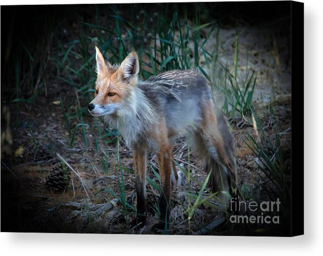 Vulpes Vulpes Canvas Print featuring the photograph Young Red Fox by Robert Bales