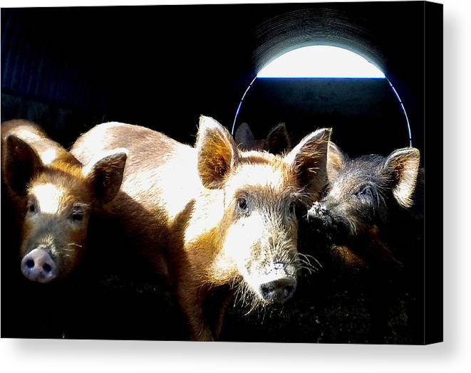 Baby Wild Pigs On The Campo Canvas Print featuring the photograph 025 by Patrick King