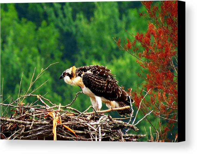Oosprey Canvas Print featuring the photograph Juvenile Osprey 6493 by J D Whaley