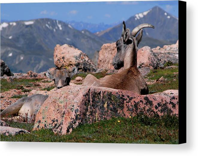 Animals Canvas Print featuring the photograph Big Horn Sheep by Diane Jensen