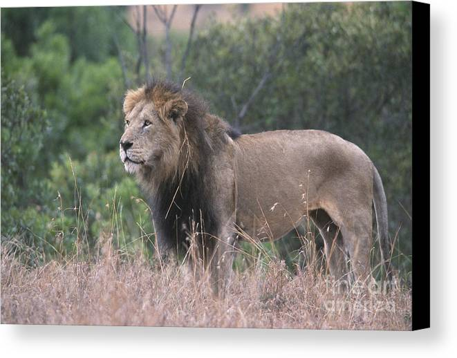 Lion Canvas Print featuring the photograph Black Maned Lion by Sandra Bronstein