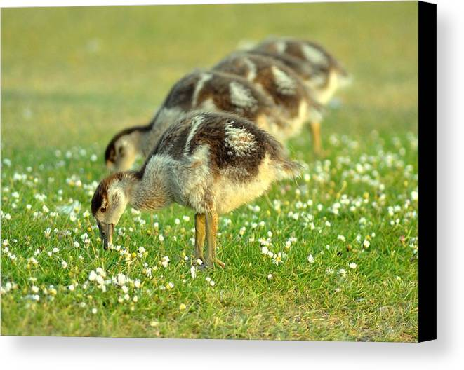 Horizontal Canvas Print featuring the photograph Egyptian Goslings by Pallab Seth