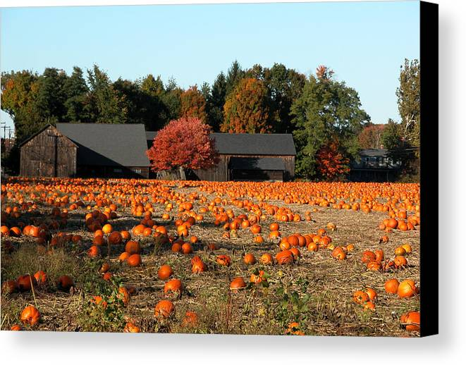 Massachusetts Canvas Print featuring the photograph Ready For Pickin by Kenneth Drylie