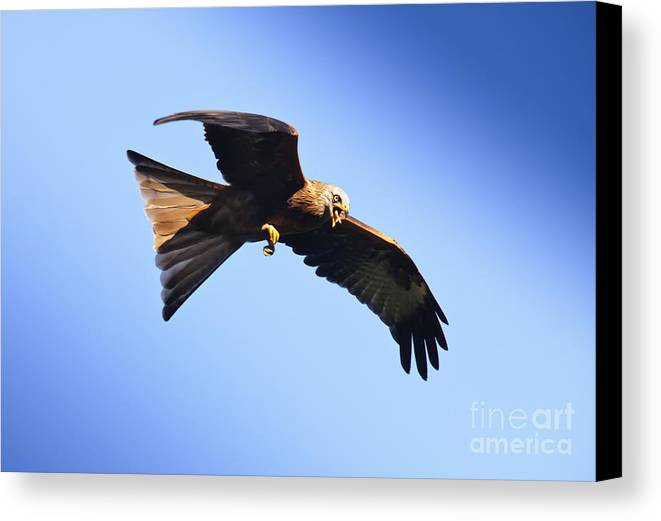 Autumn Canvas Print featuring the photograph Red Kite by Katja Zuske