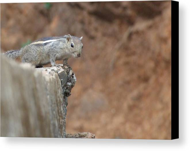 Squirrel Canvas Print featuring the photograph Stare by Sandeep BHOR