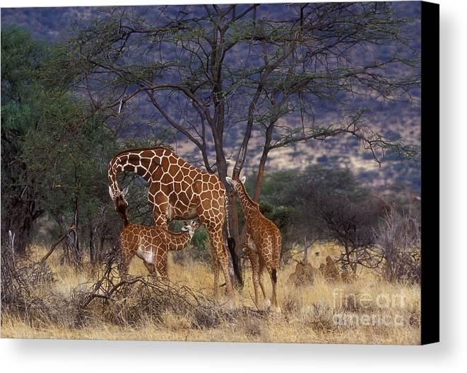 Giraffe Canvas Print featuring the photograph A Tender Moment by Sandra Bronstein