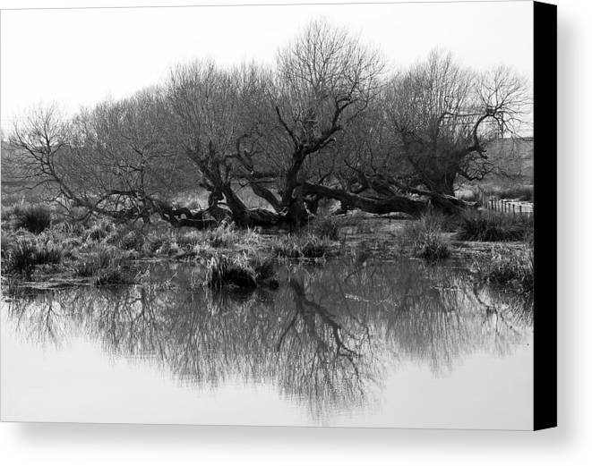 Trees Canvas Print featuring the photograph Ancient Pollard Trees by Bob Kemp