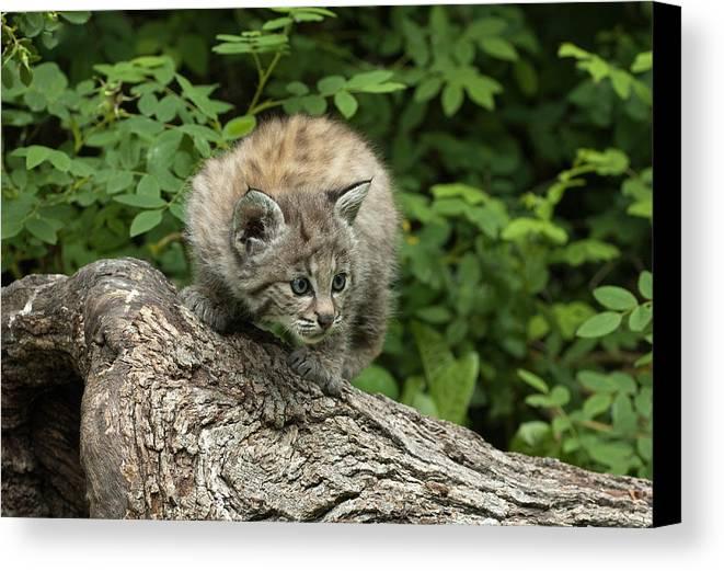 Bobcat Canvas Print featuring the photograph Bobcat Kitten Exploration by Sandra Bronstein