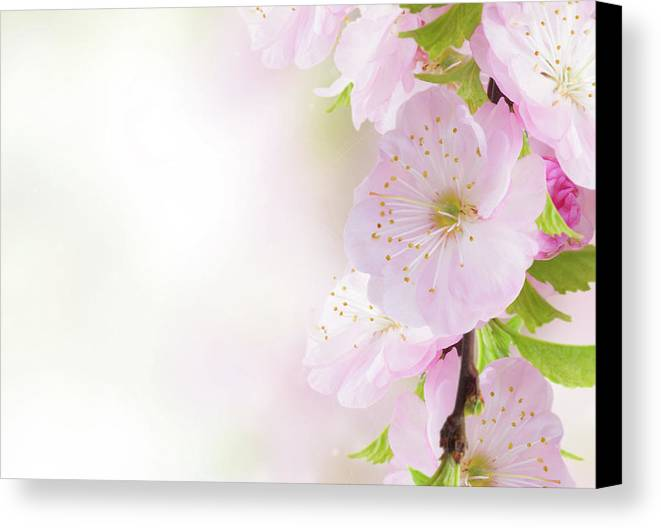 Background Canvas Print featuring the photograph Cherry Flowers In Garden by Anastasy Yarmolovich