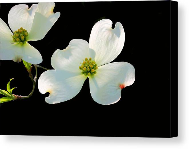 Dogwood Blossom Canvas Print featuring the photograph Dogwood Blossoms by Kristin Elmquist