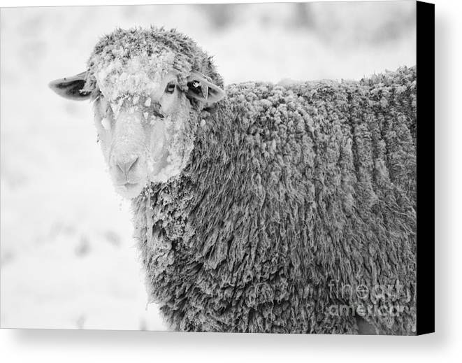 Sheep Canvas Print featuring the photograph Frozen Dinner by Mike Dawson