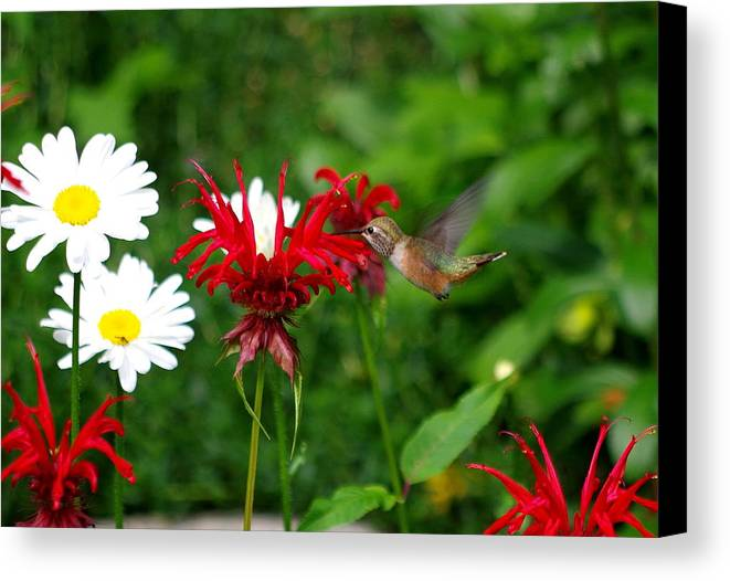 Hummingbird Canvas Print featuring the photograph Hummingbird In Flowers by Kat J