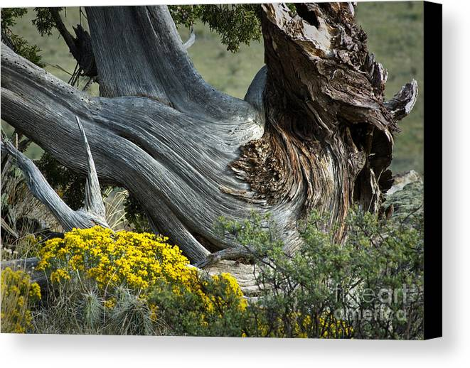 Oklahoma Canvas Print featuring the photograph Juniper Sculpture by Fred Lassmann