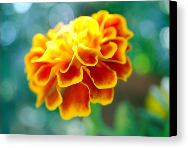 Flowers Canvas Print featuring the photograph Marigold by Heather S Huston
